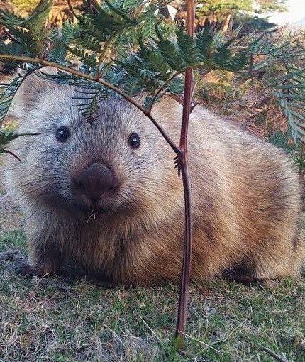 Wombats – พวกเขาดูเหมือนพวกเขามีอารมณ์ขันดีไม่ใช่หรือ?