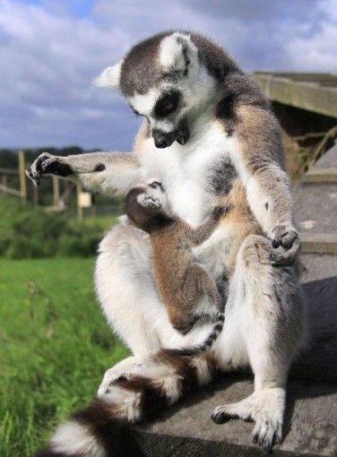 ลิงหางเทลด์มองไปที่ลูกของเธอเรียกว่าแคสเปอร์ที่สวนสาธารณะ Longleat safari