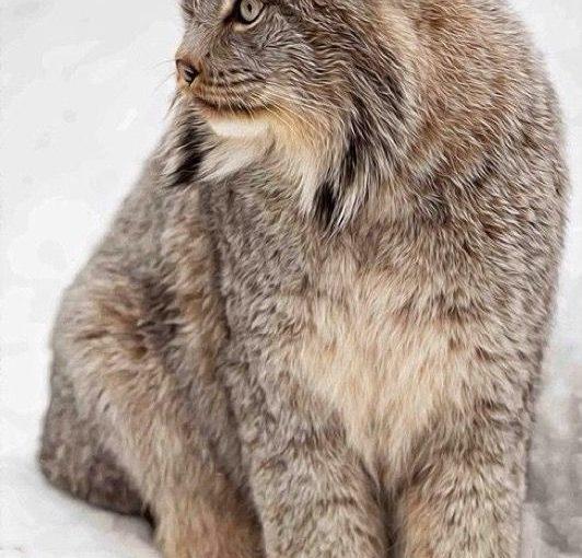 ภาพที่คมชัด Lynx และความคิดภาพ นั่นเป็นแมวที่มีพลังที่ดูเหมือนกับ tig …