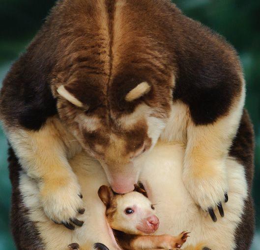 ทารก wallaby ในกระเป๋า