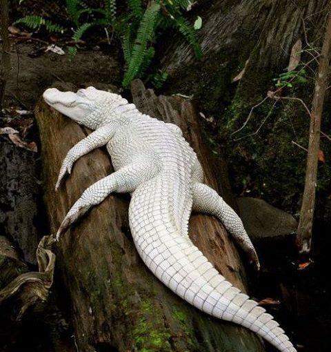 นักวิทยาศาสตร์ทางช้างเผือกที่หายากจาก Albino Alligator
