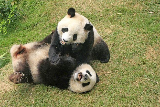 ขณะที่หมีแพนด้าเป็นหนึ่งในสายพันธุ์ที่เป็นที่รักมากที่สุดใน Internatio …